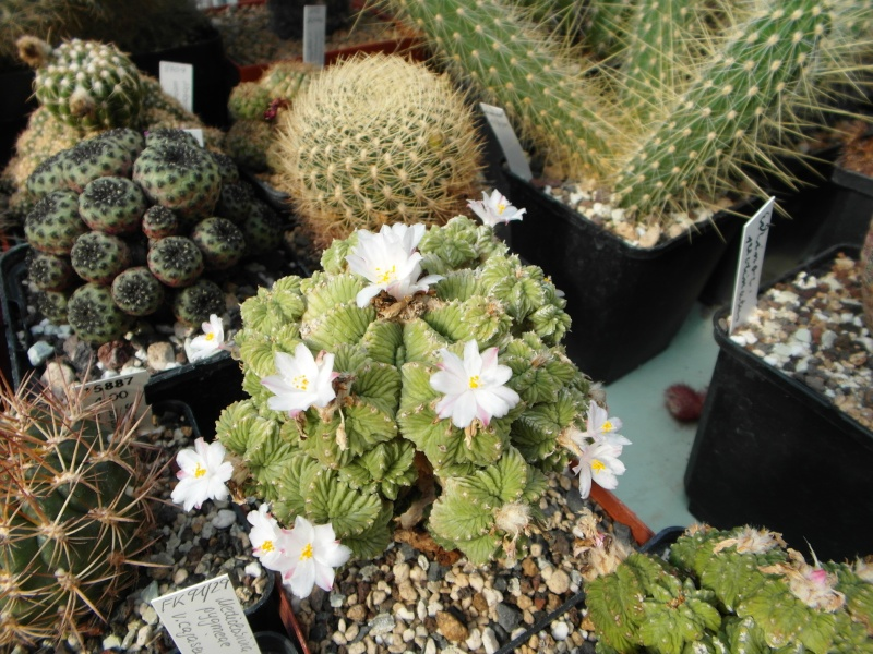 Cacti and Sukkulent in Köln, every day new flowers in the greenhouse Part 76 Bild1291