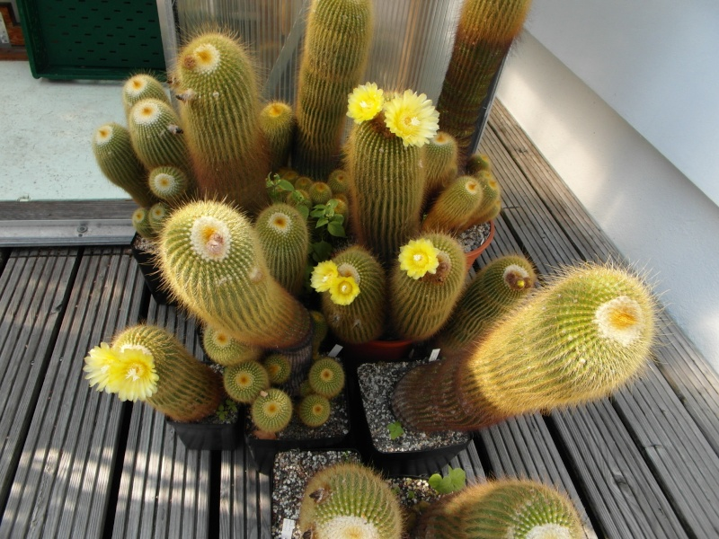 Cacti and Sukkulent in Köln, every day new flowers in the greenhouse Part 76 Bild1293