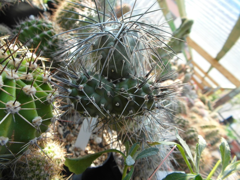 Cacti and Sukkulent in Köln, every day new flowers in the greenhouse Part 76 Bild1297