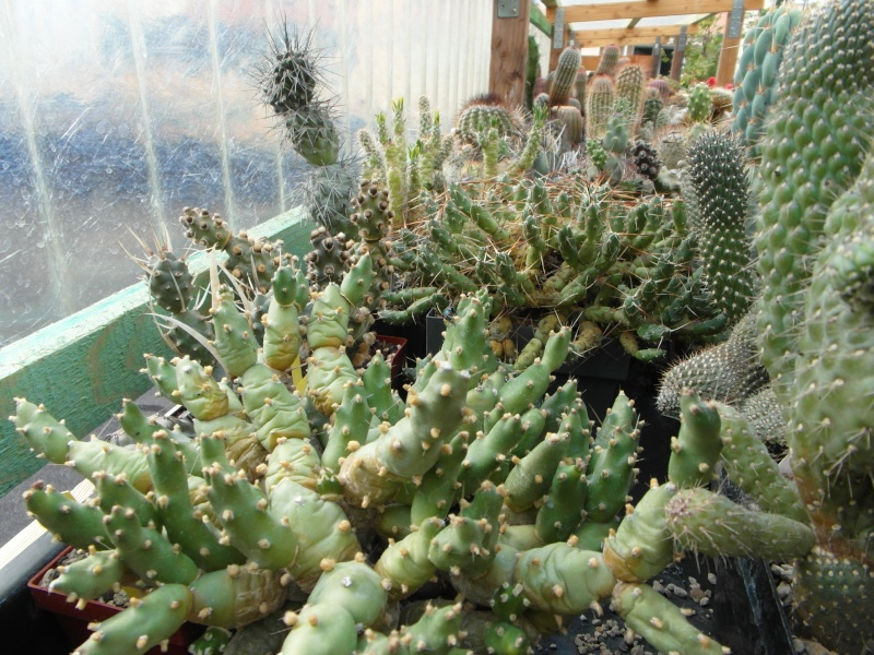 Cacti and Sukkulent in Köln, every day new flowers in the greenhouse Part 76 Bild1299