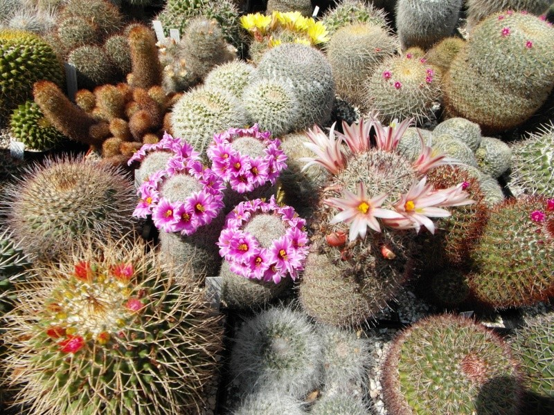 Cacti and Sukkulent in Köln, every day new flowers in the greenhouse Part 76 Bild1305