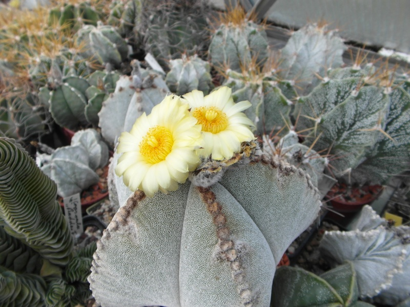 Cacti and Sukkulent in Köln, every day new flowers in the greenhouse Part 76 Bild1308