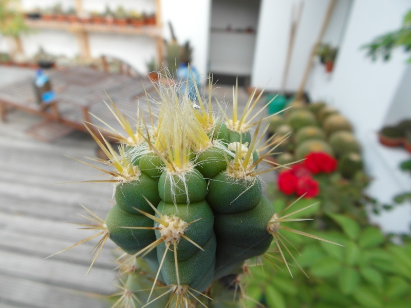 Cacti and Sukkulent in Köln, every day new flowers in the greenhouse Part 76 Bild1311