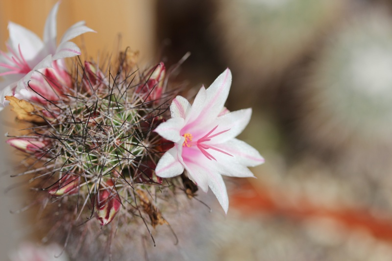 Cacti and Sukkulent in Köln, every day new flowers in the greenhouse Part 76 Bild1314