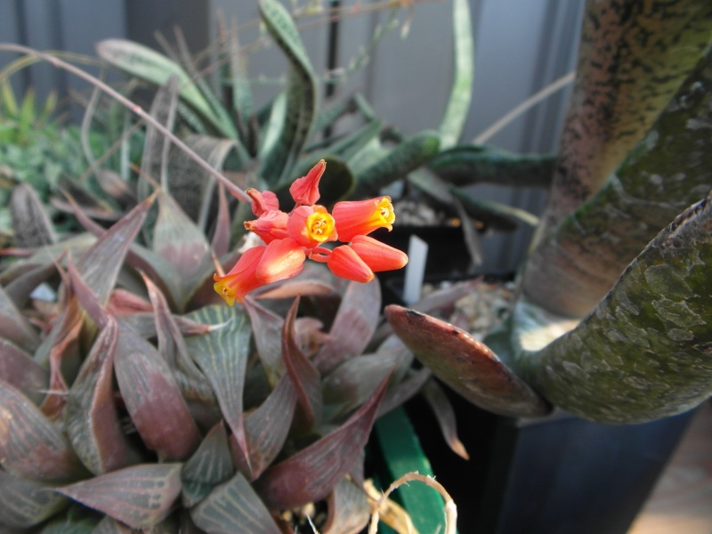 Cacti and Sukkulent in Köln, every day new flowers in the greenhouse Part 76 Bild1320