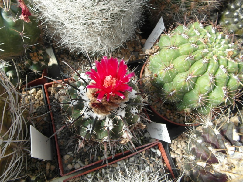 Cacti and Sukkulent in Köln, every day new flowers in the greenhouse Part 76 Bild1334