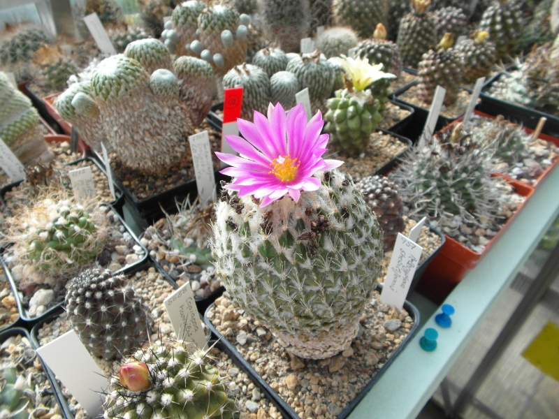 Cacti and Sukkulent in Köln, every day new flowers in the greenhouse Part 76 Bild1337
