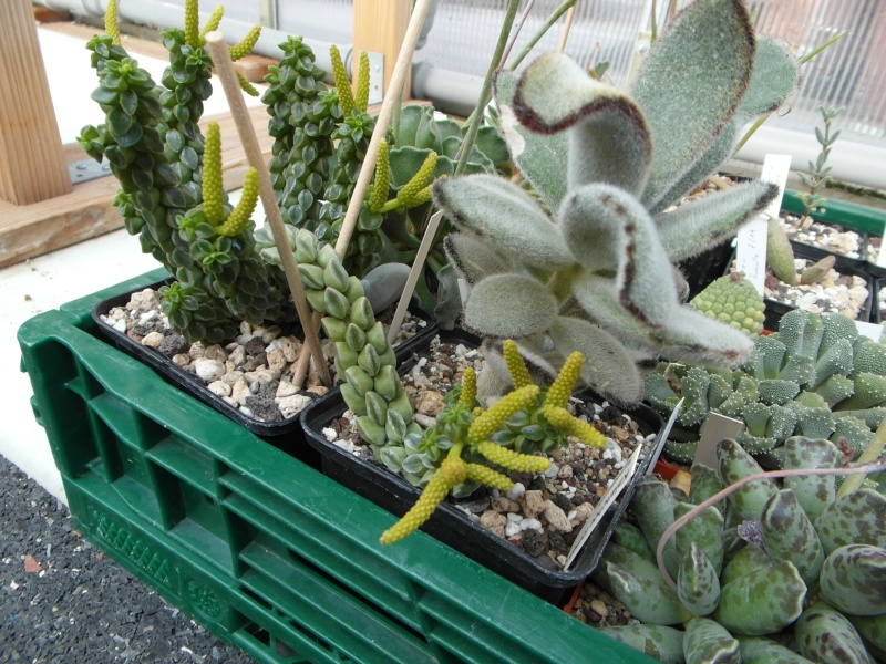 Cacti and Sukkulent in Köln, every day new flowers in the greenhouse Part 76 Bild1339
