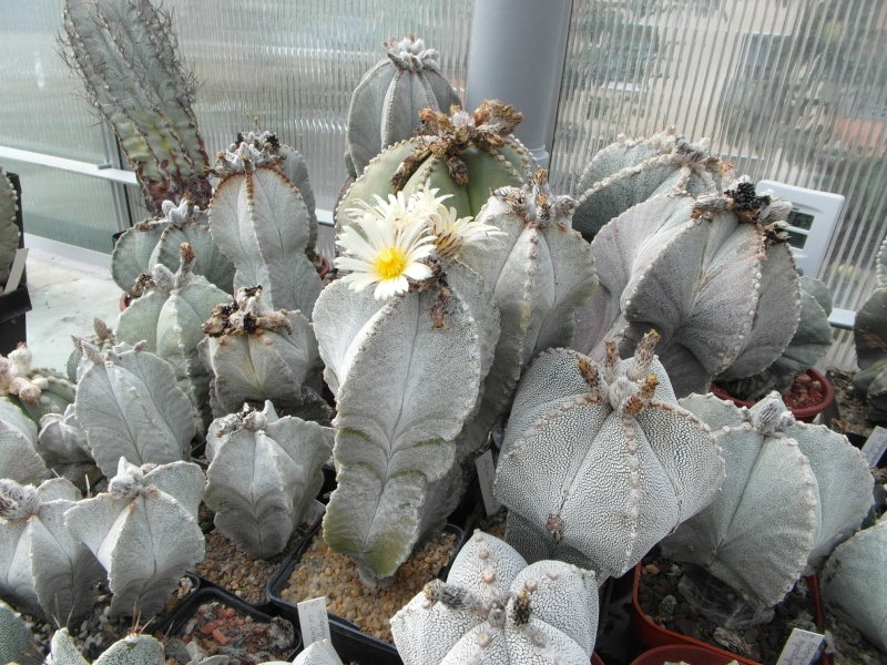Cacti and Sukkulent in Köln, every day new flowers in the greenhouse Part 76 Bild1351