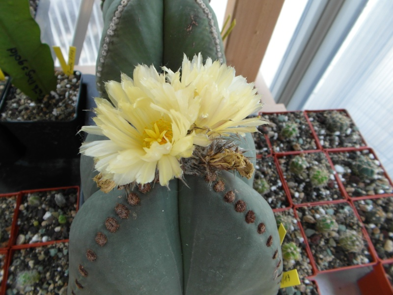 Cacti and Sukkulent in Köln, every day new flowers in the greenhouse Part 76 Bild1352