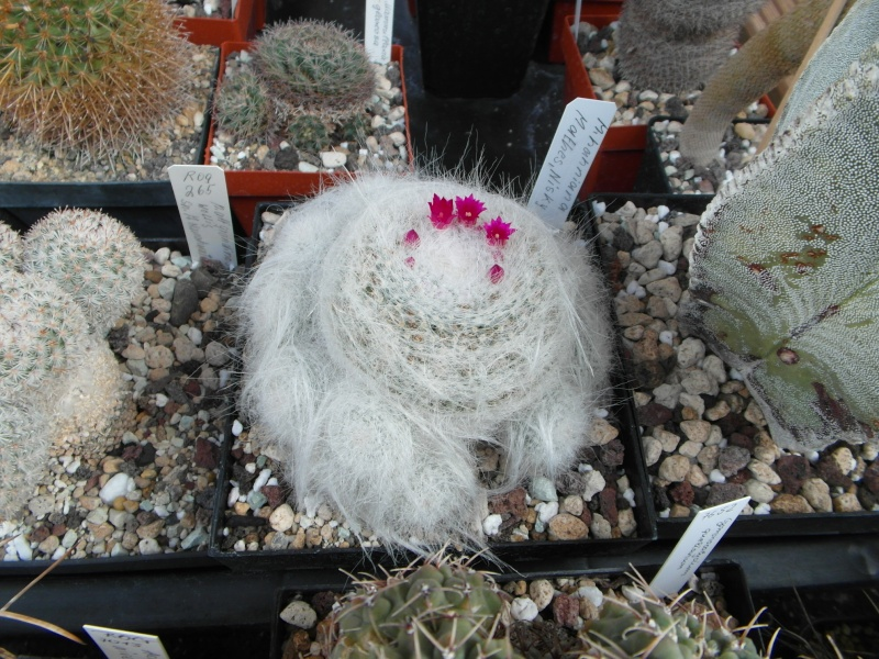 Cacti and Sukkulent in Köln, every day new flowers in the greenhouse Part 76 Bild1358