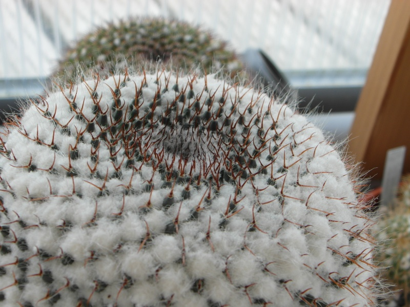 Cacti and Sukkulent in Köln, every day new flowers in the greenhouse Part 76 Bild1360