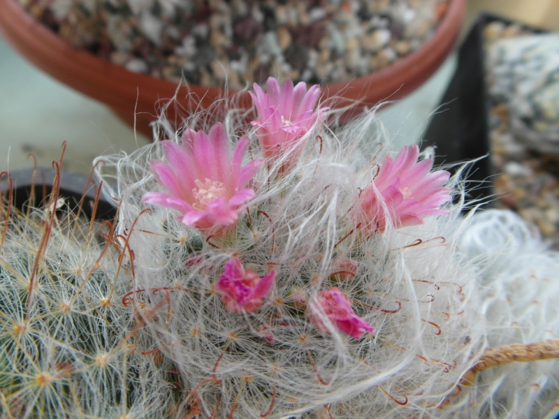 Cacti and Sukkulent in Köln, every day new flowers in the greenhouse Part 76 Bild1361