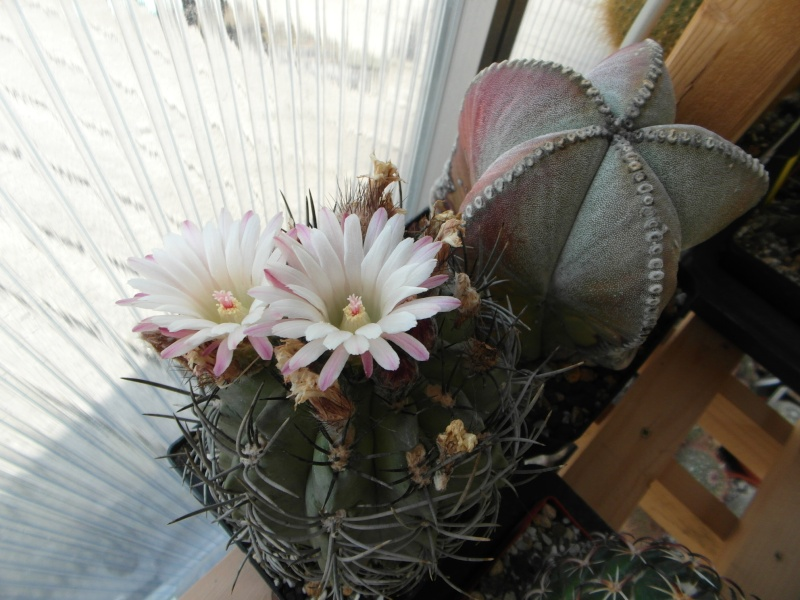 Cacti and Sukkulent in Köln, every day new flowers in the greenhouse Part 76 Bild1364