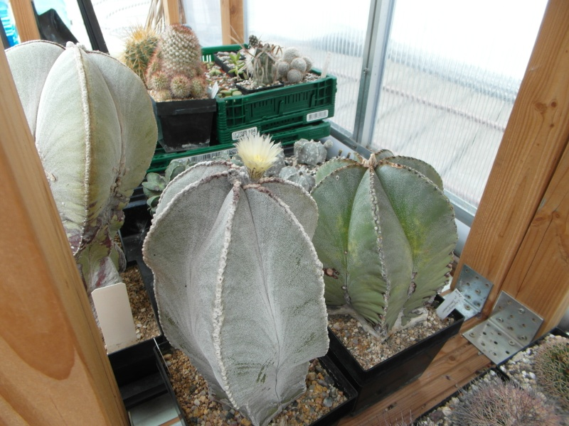 Cacti and Sukkulent in Köln, every day new flowers in the greenhouse Part 77 Bild1368