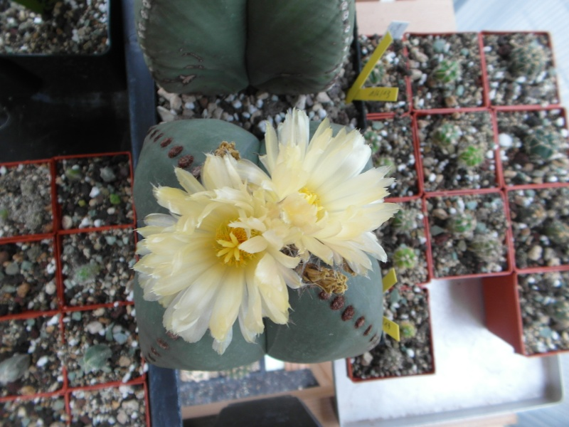 Cacti and Sukkulent in Köln, every day new flowers in the greenhouse Part 77 Bild1369