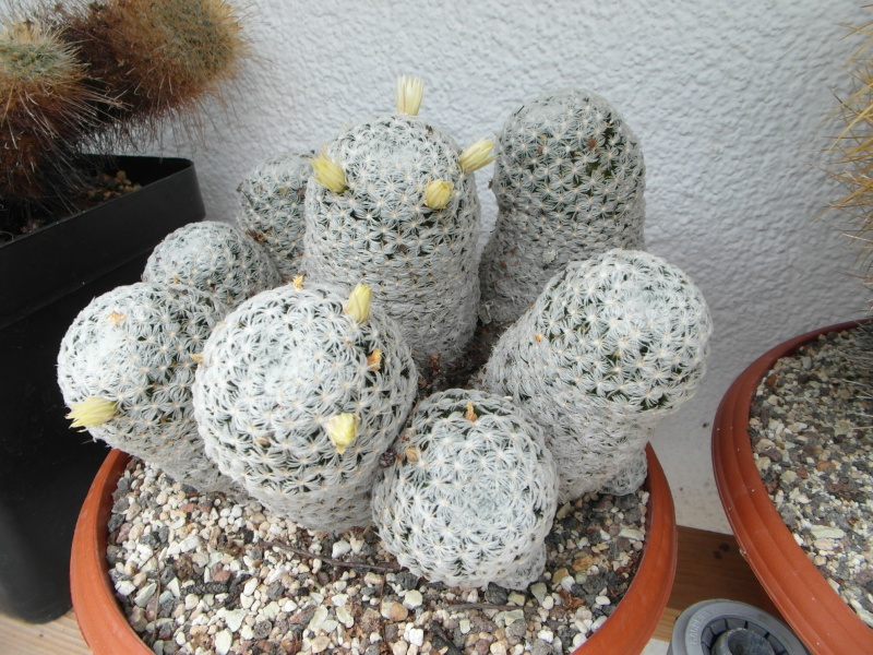 Cacti and Sukkulent in Köln, every day new flowers in the greenhouse Part 77 Bild1387