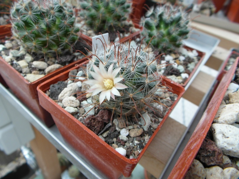 Cacti and Sukkulent in Köln, every day new flowers in the greenhouse Part 77 Bild1388