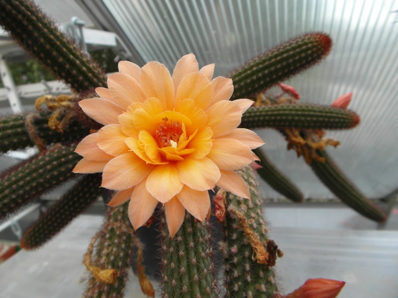 Cacti and Sukkulent in Köln, every day new flowers in the greenhouse Part 77 Bild1394