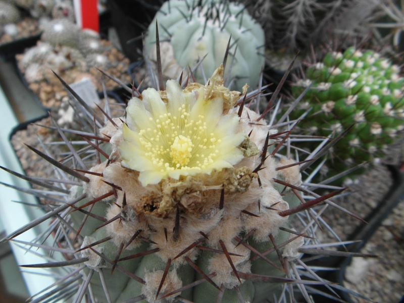 Cacti and Sukkulent in Köln, every day new flowers in the greenhouse Part 77 Bild1395