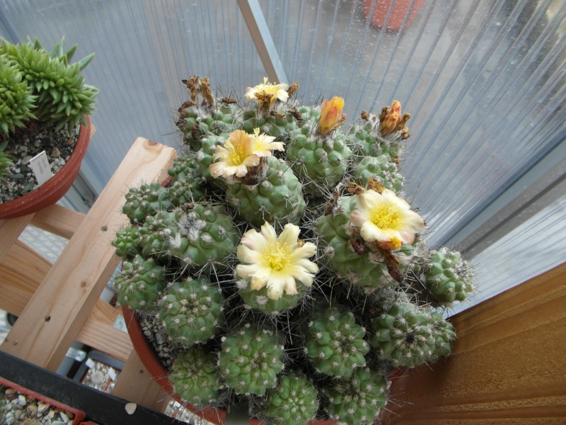 Cacti and Sukkulent in Köln, every day new flowers in the greenhouse Part 77 Bild1397