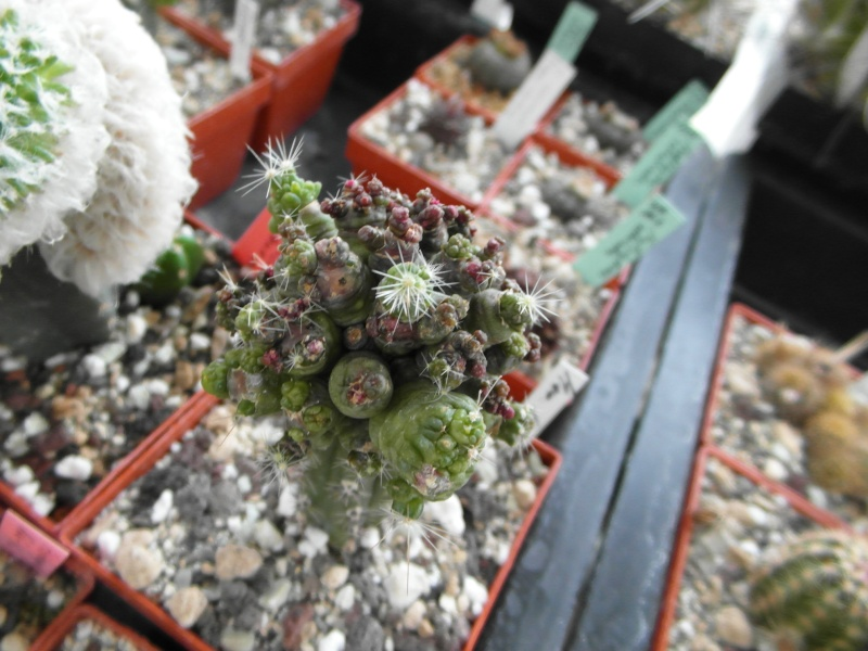 Cacti and Sukkulent in Köln, every day new flowers in the greenhouse Part 77 Bild1400