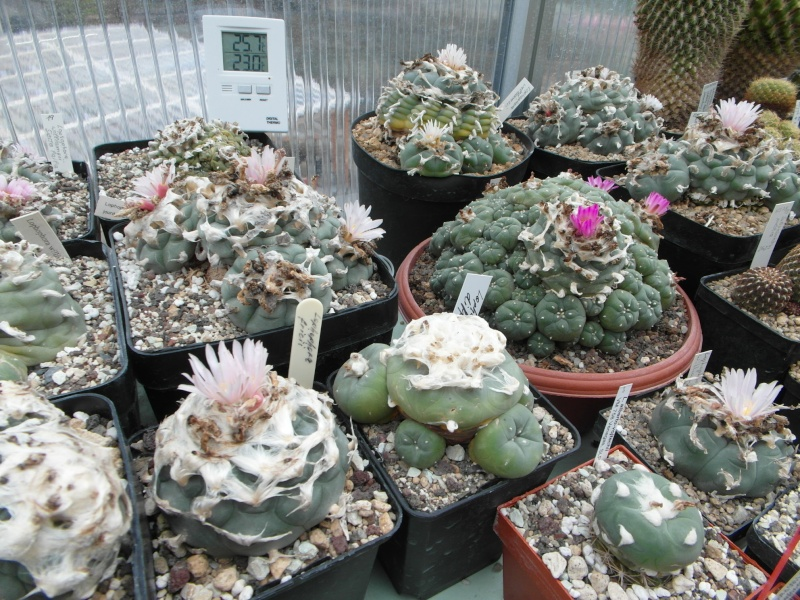 Cacti and Sukkulent in Köln, every day new flowers in the greenhouse Part 77 Bild1401