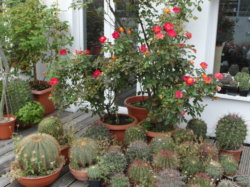 Cacti and Sukkulent in Köln, every day new flowers in the greenhouse Part 77 Bild1402