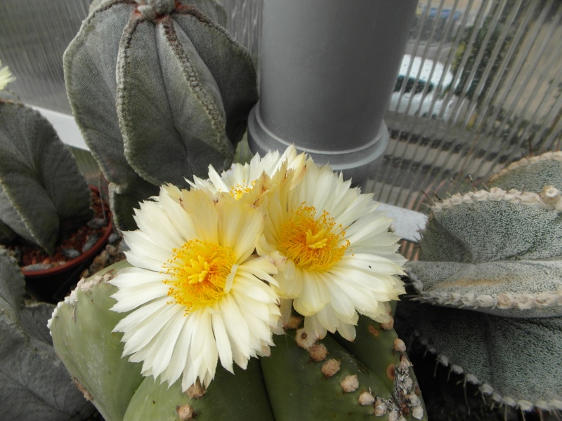 Cacti and Sukkulent in Köln, every day new flowers in the greenhouse Part 77 Bild1410