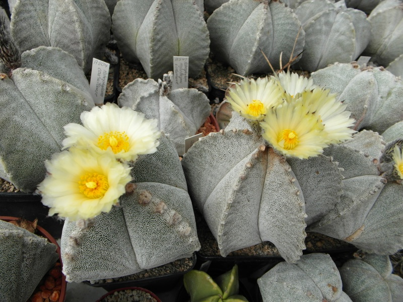 Cacti and Sukkulent in Köln, every day new flowers in the greenhouse Part 77 Bild1413
