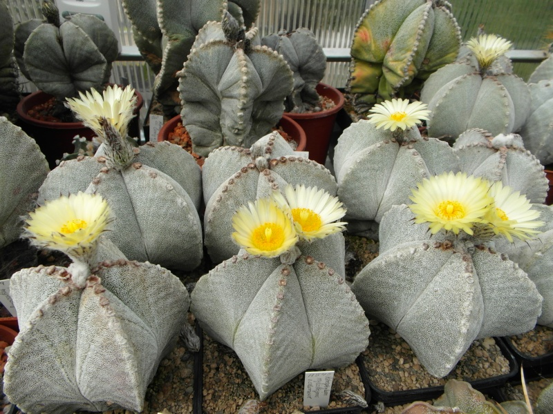Cacti and Sukkulent in Köln, every day new flowers in the greenhouse Part 77 Bild1414