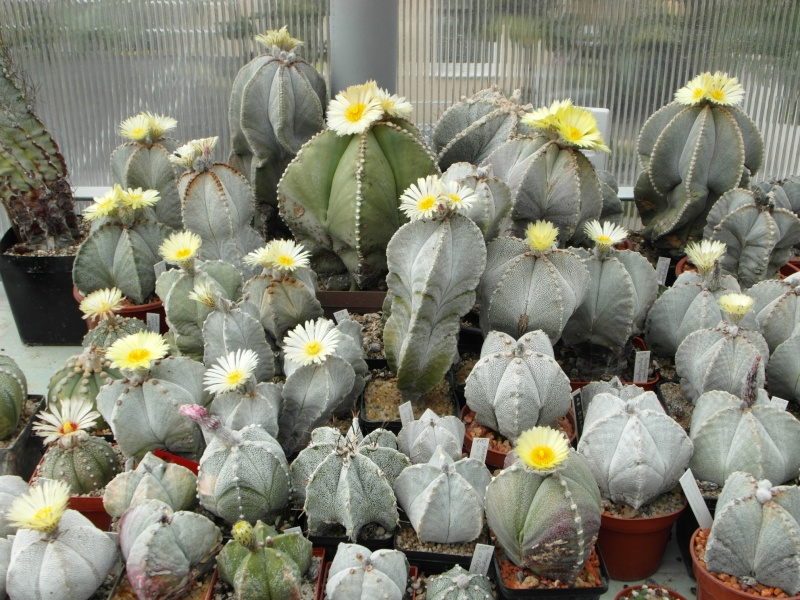Cacti and Sukkulent in Köln, every day new flowers in the greenhouse Part 77 Bild1417
