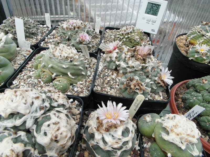 Cacti and Sukkulent in Köln, every day new flowers in the greenhouse Part 77 Bild1418