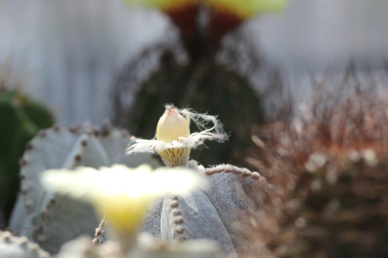 Cacti and Sukkulent in Köln, every day new flowers in the greenhouse Part 77 Bild1429