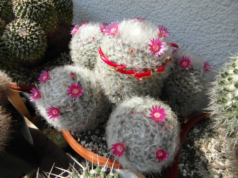 Cacti and Sukkulent in Köln, every day new flowers in the greenhouse Part 78 Bild1451