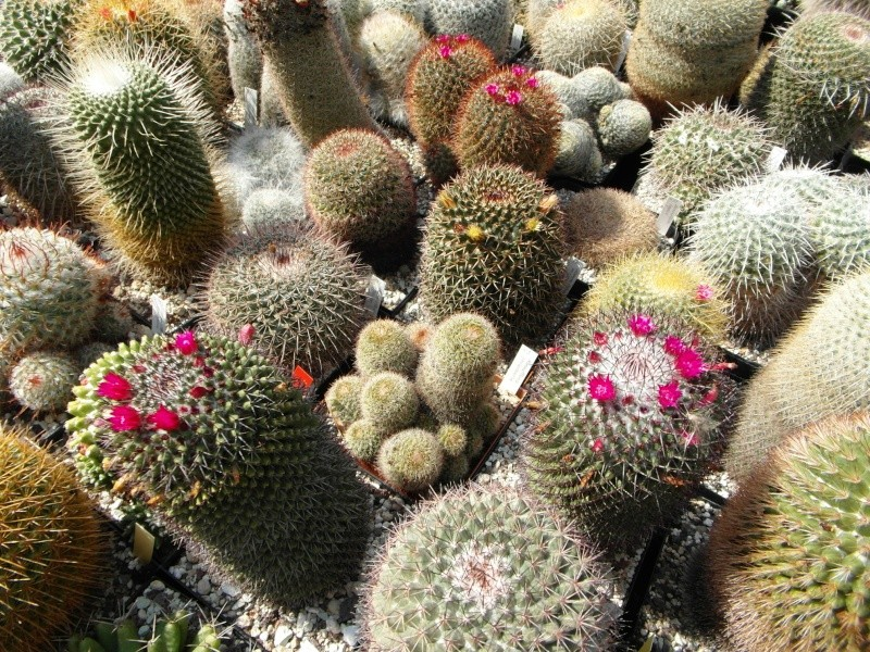 Cacti and Sukkulent in Köln, every day new flowers in the greenhouse Part 78 Bild1452