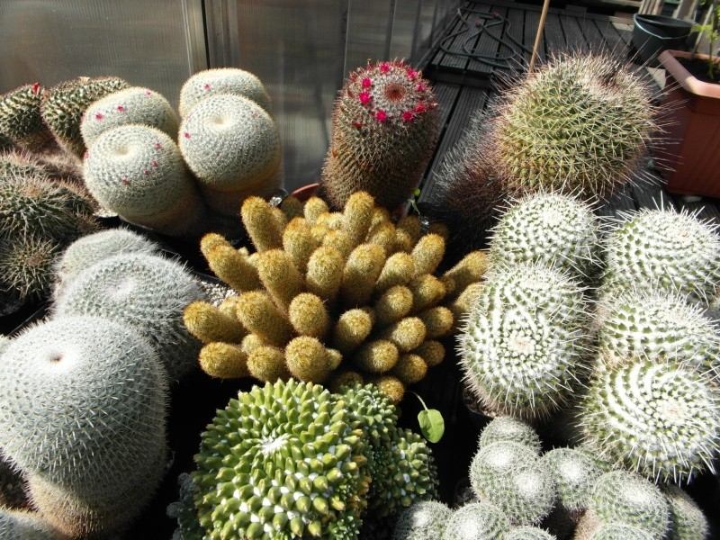 Cacti and Sukkulent in Köln, every day new flowers in the greenhouse Part 78 Bild1453