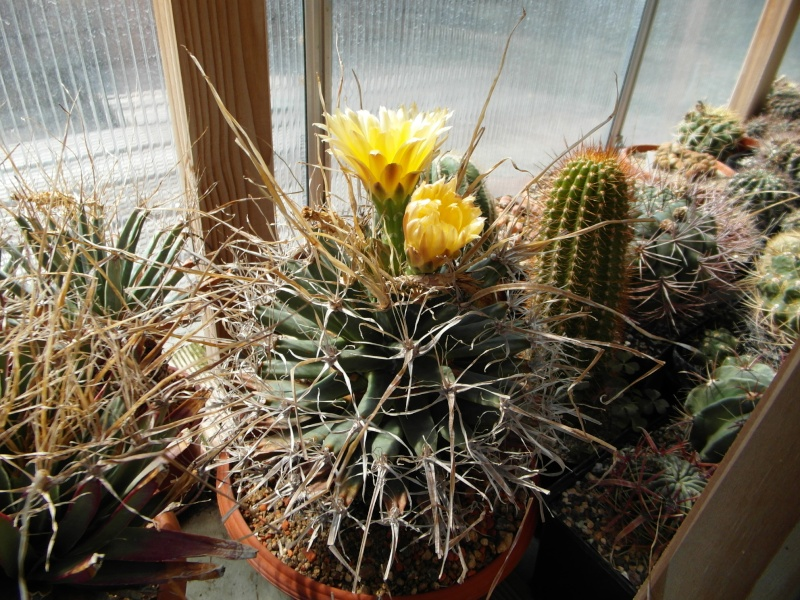 Cacti and Sukkulent in Köln, every day new flowers in the greenhouse Part 78 Bild1456