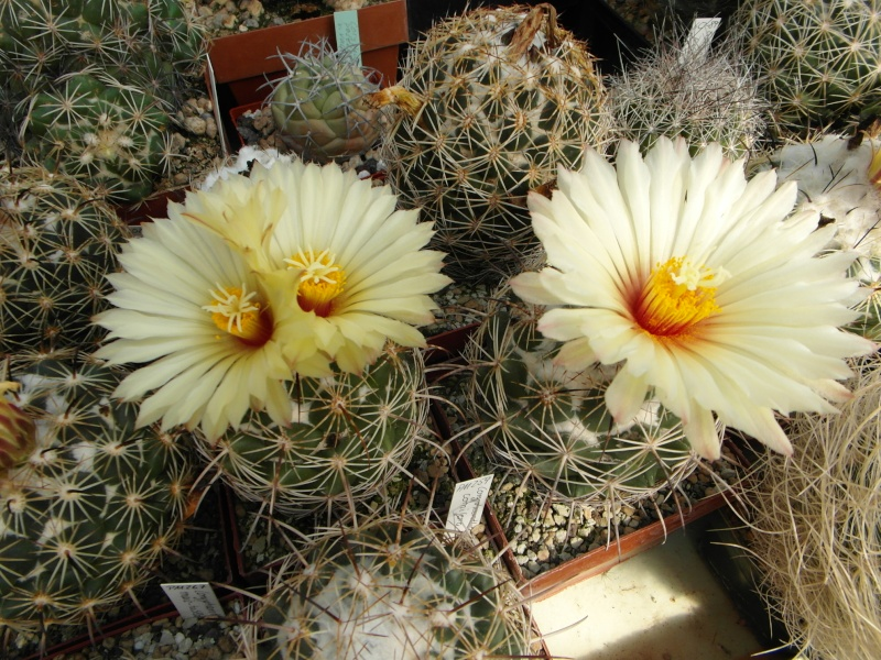Cacti and Sukkulent in Köln, every day new flowers in the greenhouse Part 78 Bild1463