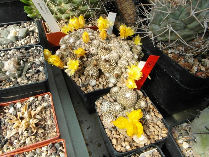 Cacti and Sukkulent in Köln, every day new flowers in the greenhouse Part 78 Bild1467
