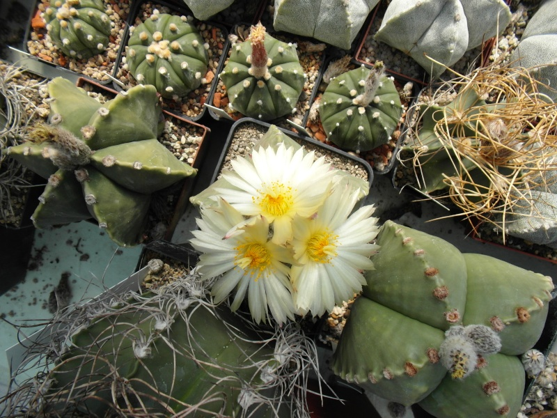 Cacti and Sukkulent in Köln, every day new flowers in the greenhouse Part 78 Bild1473