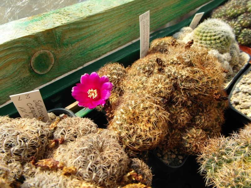 Cacti and Sukkulent in Köln, every day new flowers in the greenhouse Part 78 Bild1475