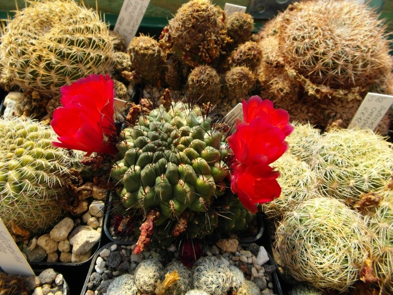Cacti and Sukkulent in Köln, every day new flowers in the greenhouse Part 78 Bild1476