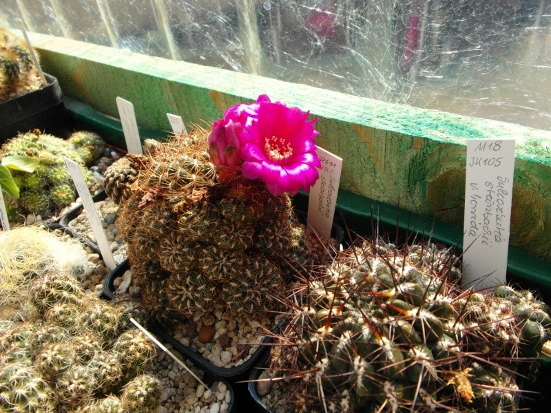 Cacti and Sukkulent in Köln, every day new flowers in the greenhouse Part 78 Bild1477