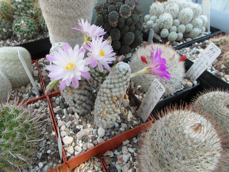 Cacti and Sukkulent in Köln, every day new flowers in the greenhouse Part 78 Bild1486