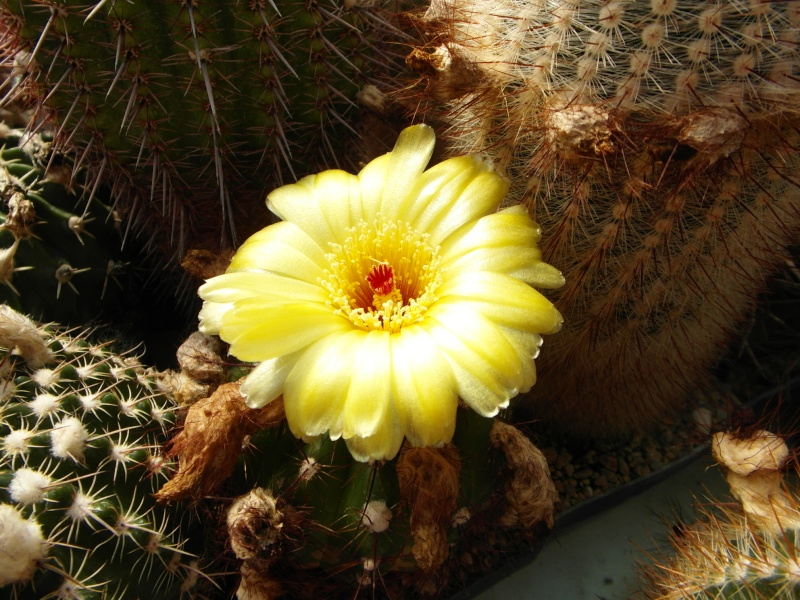 Cacti and Sukkulent in Köln, every day new flowers in the greenhouse Part 78 Bild1492