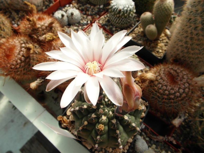 Cacti and Sukkulent in Köln, every day new flowers in the greenhouse Part 78 Bild1495