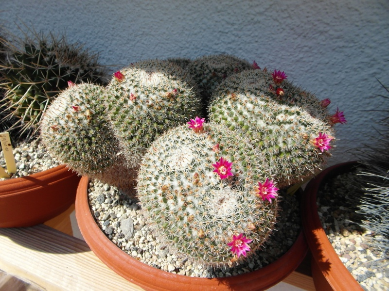 Cacti and Sukkulent in Köln, every day new flowers in the greenhouse Part 78 Bild1496