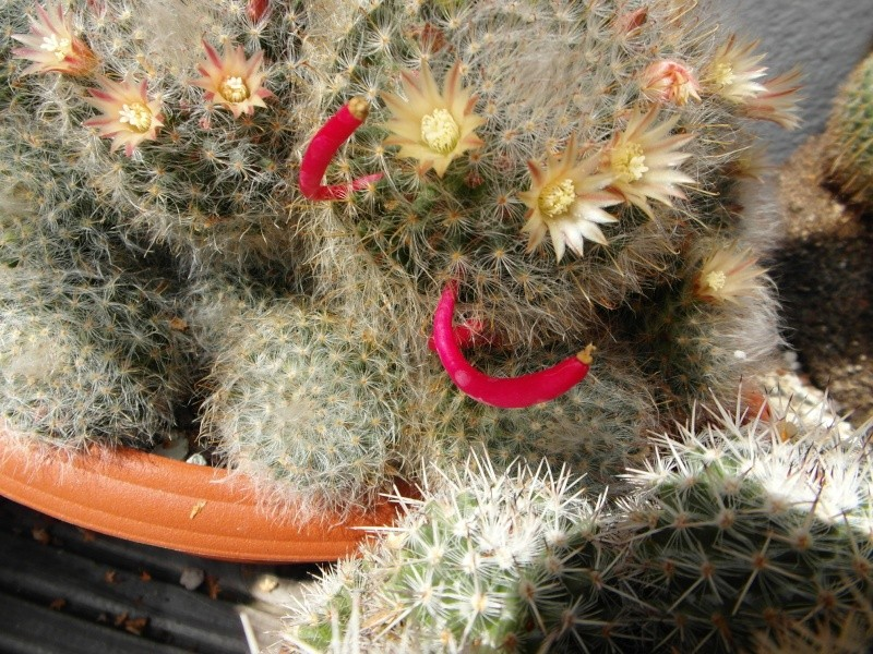 Cacti and Sukkulent in Köln, every day new flowers in the greenhouse Part 78 Bild1499