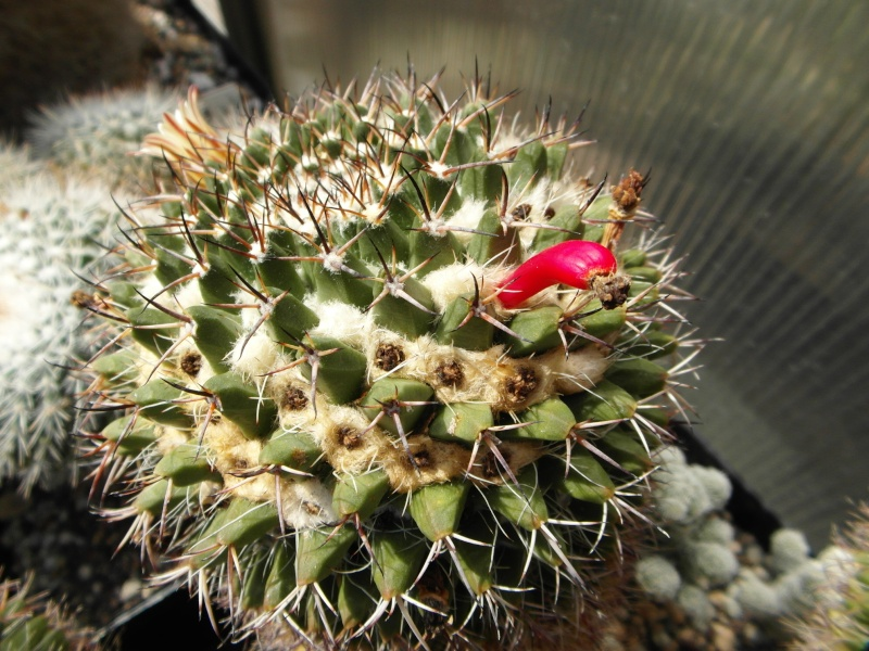 Cacti and Sukkulent in Köln, every day new flowers in the greenhouse Part 78 Bild1504